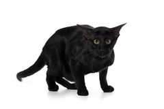 Oriental black cat Royalty Free Stock Photography