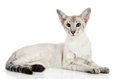 Oriental blue-point cat Stock Image