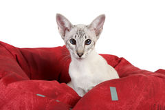 Oriental Blue point siamese cat Stock Photo