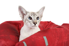 Oriental Blue point siamese cat Royalty Free Stock Photos