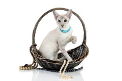 Oriental Blue point siamese cat in wicker basket Royalty Free Stock Images