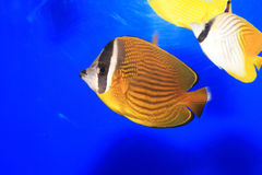 Oriental butterflyfish Stock Images