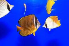 Oriental butterflyfish Stock Photo