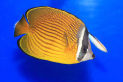 Oriental butterflyfish Royalty Free Stock Photos