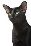 Oriental cat. Close-up portrait over white background Stock Image