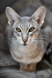Oriental cat Royalty Free Stock Photo