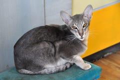 Oriental cat stock images