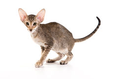 Oriental cat Royalty Free Stock Photography