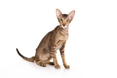 Oriental cat Royalty Free Stock Photo