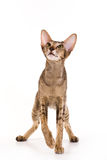Oriental cat Stock Images