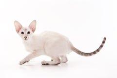 Oriental cat Stock Photo