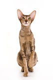 Oriental cat Royalty Free Stock Images