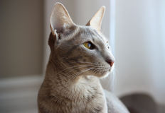 Oriental cat. Close up of a lavender spotted tabby oriental cat Royalty Free Stock Photo