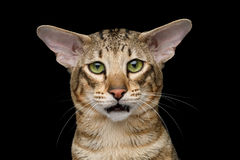 Oriental Cat With Big Ears on Black Isolated Background Stock Photo
