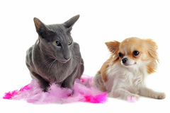 Oriental cat and chihuahua Royalty Free Stock Images