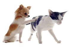 Oriental cat and chihuahua Stock Photos