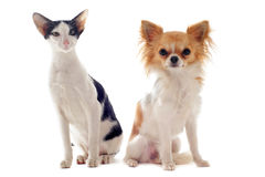 Oriental cat and chihuahua Stock Image