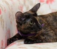 Oriental cat Stock Photography