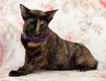 Oriental cat Royalty Free Stock Image