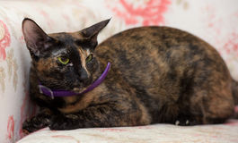 Oriental cat Royalty Free Stock Photos