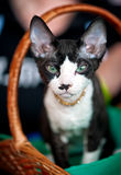 Oriental cat green eyes Stock Photo