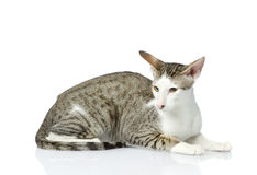 Oriental cat Stock Photography