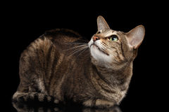 Oriental Cat Lying and Looking up Isolated on Black Royalty Free Stock Photography
