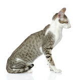Oriental cat  in a profile. Stock Images