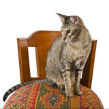 Oriental cat sitting on chair. Young grey oriental cat sitting on a beautiful eastern chair Stock Photo