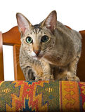 Oriental cat sitting on chair. Young grey oriental cat sitting on a beautiful eastern chair Stock Images
