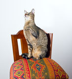 Oriental cat sitting on chair. Young grey oriental cat sitting on a beautiful eastern chair and holding one paw at its chest Royalty Free Stock Photography