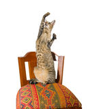 Oriental cat sitting on chair. Young grey oriental cat sitting on a beautiful eastern chair on itshind legs and catching something in the air Royalty Free Stock Image