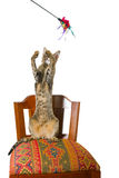 Oriental cat sitting on chair stock photography
