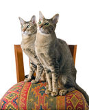 Oriental cat sitting on chair Stock Images