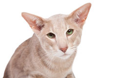 Oriental cat sitting on isolated  white Royalty Free Stock Photos