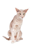 Oriental cat sitting on white Royalty Free Stock Photos