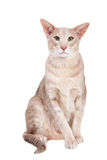 Oriental cat sitting on white Royalty Free Stock Images