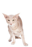 Oriental cat sitting on white Stock Photos