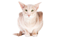 Oriental cat sitting on white Stock Photography