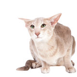 Oriental cat sitting on white Royalty Free Stock Image