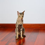 Oriental cat sitting on wooden floor. Young grey oriental cat sitting on dark wooden floor and feeling lonely Royalty Free Stock Photos