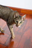 Oriental cat walking on the floor. Young grey oriental cat walking on dark wooden floor looking in the camera Royalty Free Stock Photography