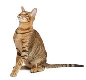 Oriental cat on white background Royalty Free Stock Photography