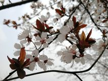 Oriental cherry樱花 royalty free stock photo