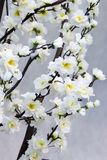 Oriental cherry. Branches with white flowers of an oriental cherry Stock Photography