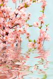 Oriental cherry. Branches with pink flowers of an oriental cherry Stock Photos