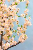 Oriental cherry. Branches with white flowers of an oriental cherry Stock Images