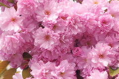 Oriental cherry Stock Photography