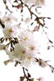 Oriental cherry blossom. Branches of oriental flowering cherry with blossoms isolated on white background Royalty Free Stock Images