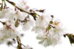 Oriental cherry blossom Stock Images